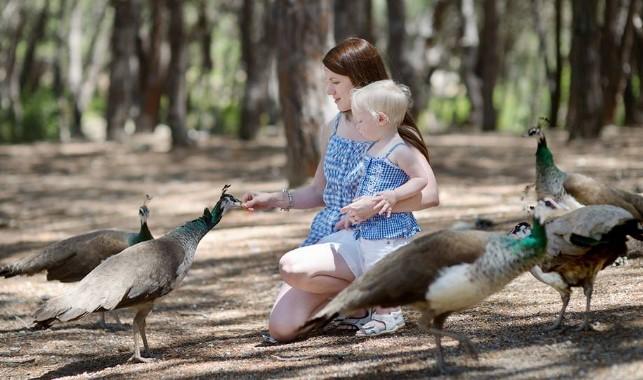 peacock-kos